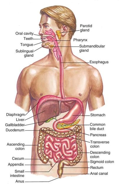 digestive system - senior hsa project 2014, Human Body